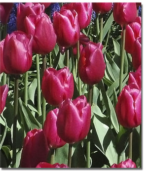 Image of red tulips.